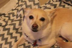 IMG_3267 (fschaub3) Tags: puppies puppy pets dogs yorkie shorkie pomchi