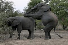 Clever boy (crafty1tutu (Ann)) Tags: travel holiday 2016 africa southafrica african safari motswariprivategamereserve animal elephant herd wild inthewild free roamingfree surrounded crafty1tutu canon7dmkii ef100400mmf4556lisiiusm anncameron naturethroughthelens naturescarousel