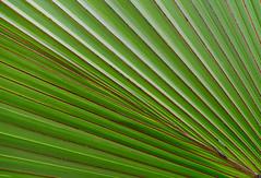 La Runion (ingridkreuz) Tags: runion indischerozean indianocean insel frankreich france outremer botanischergarten natur nature plants ppig tropisch tropical palme palmtree pattern muster