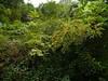 Pittosporum dasycaulon Miq. (Dinesh Valke) Tags: pittosporaceae pittosporumfamily endemic evergreen tree pittosporum pittosporumdasycaulon analivenna bugari gapsindi gapsundi hairybranchedpittosporum ikali kasumaram