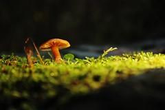 059 Miniature World (srypstra) Tags: mushroom club moss