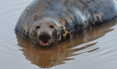 GREY REFLECTION By Angela Wilson (angelawilson2222) Tags: grey seal creature wild wildlife nature sealife sea ocean donna nook lincolnshire trust bathe swin mud nikon angela wilson