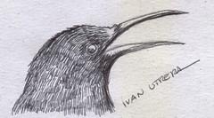 pajaro a lapicero (ivanutrera) Tags: draw dibujo drawing dibujoalapicero dibujoenboligrafo animal ave bird sketch sketching ilustracion