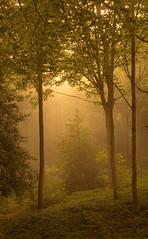 Junior (Glenn D Reay) Tags: tree sapling mist early wood woodland sunlight sun shade light pentaxart pentax k30 sigma1770hsm polariser glennreay