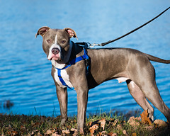 I wanna swim! (Justin P. Ross) Tags: pit bull dog pet photo outdoors park water animal nikon d500