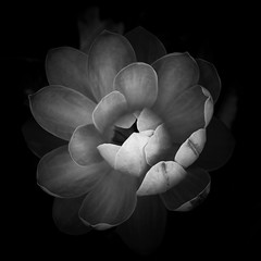 Quiet Nights (Thomas Hawk) Tags: missouri missouribotanicalgarden nymphaeaceae shawsgarden stlouis usa unitedstates unitedstatesofamerica waterlilies botanicalgarden bw flower waterlilly fav10 fav25 fav50