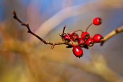 Rotdorn (gutlaunefotos ☮) Tags: rotdorn winter rot zweig