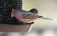 House-finch-adult-male_4549 (Warbler_King) Tags: finches housefinch illinoisbirds housefinchadultmale