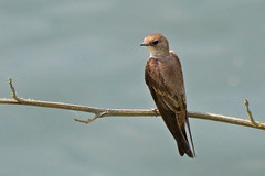 Northern_Rough-winged_Swallow_P1280481_edited-1 (sendtoGandO) Tags: stillwater northernroughwingedswallow