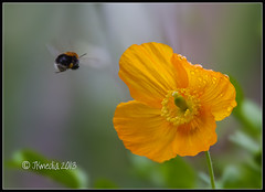 Off To Work (JKmedia) Tags: morning copyright orange flower green nature water closeup work canon garden insect flying droplets leaf inflight zoom wildlife flight petal bee stamen poppy worker 100400 14xextender canoneos7d jkmedia n15c