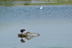a_DSC_8699 (OrNeSsInA) Tags: aironi byrd uccelli natura airon cormorani folaghe trasimeno lago umbria lucarosi toscana passignano montedellago perugia insetti farfalle nikon tamron