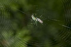 Spider eating series 5 (Richard Ricciardi) Tags: spider eating web spinne araa  araigne ragno timeseries     gagamba    nhn  spidertimeseries