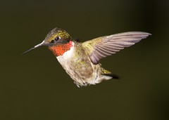 Hummingbird try #2 (LU Trapper John) Tags: photography experiments sony flash sudbury hummingbirds dslr a77 worthington dslt robertalemany sonyslta77