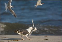 Too Late... (Nikographer [Jon]) Tags: ocean summer ny beach birds sand surf july jul brd terns commontern sterna sternahirundo hirundo blackbackedgull 2013 d7100 commonternchick 20130720d710009081