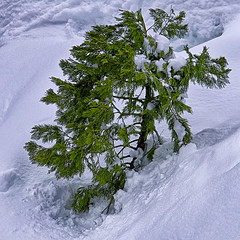 After the Snow (Marvin Moose) Tags: winter snow tree sierranevada