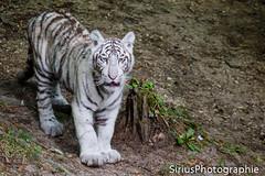 IMG_3794 (SiriusPhotographie) Tags: fauve beauval tigreblanc