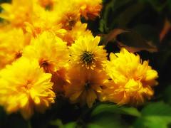 Golden balls (Ancora Marina) Tags: flowers nature welikeit mygearandme