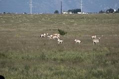 _MG_6548a (markbyzewski) Tags: colorado ugly coloradosprings pronghorn pronghornantelope