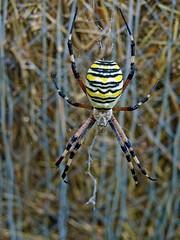 ragno vespa (chiaramargaret) Tags: wood nature spider reflex big nice italia vespa foto pics natura olympus campagna giallo bella macchina lombardia animale grosso bosco ragno bello fieno e510 ragnatela velenoso