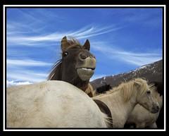 You talkin' to me? (Gumundur Gubergsson) Tags: blue summer horses horse nature beautiful beauty smile smiling animal laughing island caballo cheval iceland islandia eyes funny cavallo pferd gumundur sland rttir icelandic mummi himinn islanda hestar hestur hnavatnsssla andlit laxrdalur fyndi strttir hrossahltur lislande gumundurgubergsson gubergsson hestarttir