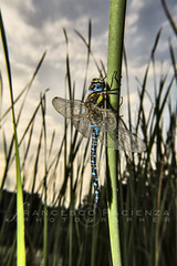 Under the sky - 0531 (Francesco Pacienza - Getty Images Contributor) Tags: blue wild sky green nature water fly dragonfly lakes