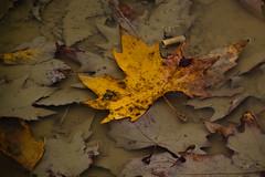 fallen... (Evi Skoura) Tags: autumn fall nature canon outdoors lanscape feneos canon550d feneoskorinthia