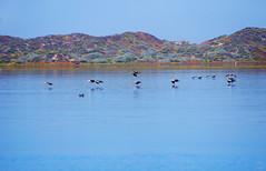Flight Music (splinx1) Tags: california blue light sky color bird art nature water composition aqua pentax scenic handheld brownpelican greatblueheron bif  sandspit  pentaxkx pelecanusoccidentalis     smcpda55300mmf458ed pentaxart morrobaycaiforniausa