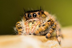 20131009-02398 (Wes Edens) Tags: spider jumping jumpingspider salticidae