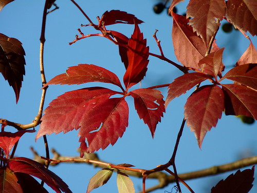 autumn red plant leaves newjersey nj vine fav20 foliage highlandpark vitaceae virginiacreeper parthenocissus vitales fav10 parthenocissusquinquefolia middlesexcounty fivefinger fiveleavedivy donaldsonpark vision:outdoor=0805