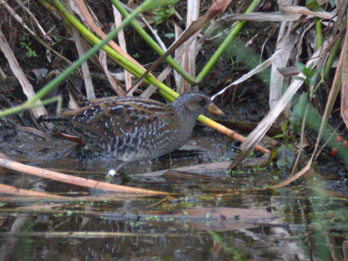 "Spotted Crake, Marazion • <a style=""font-size:0.8em;"" href=""http://www.flickr.com/photos/30837261@N07/10722522916/"" target=""_blank"">View on Flickr</a>"
