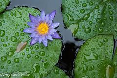 Waterlily (laszlofromhalifax) Tags: usa rain pond waterlily lily oahu honolulu raining manoavalley uhbotanicalgardens