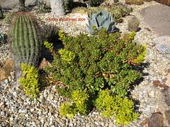 Sedum dendroideum (Kelley Macdonald) Tags: crassulaceae sedum sedumdendroideum theruthbancroftgarden treesedum treestonecrop seduminflower