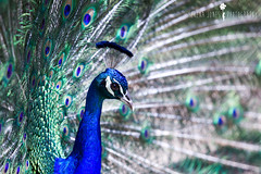Peacock (Serena178) Tags: bokeh clarity peacock odc2