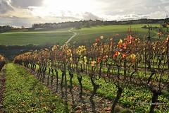Panache d'automne / Plume fall (patoche21) Tags: autumn france fall automne landscape vineyard nikon scenery village 21 burgundy paysage bourgogne vignoble vigne 2470mm côtedor fussey d700 capturenx2 patrickbouchenard