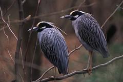 Wading birds (U. S. Fish and Wildlife Service - Northeast Region) Tags: bird birds virginia wildlife national va refuge nationalwildliferefuge wadingbird easternshoreofvirginia