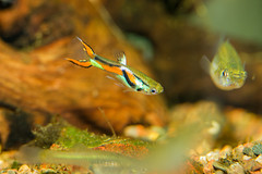 Fish-7189 (Line123a) Tags: male female display pair mf guppy courting livebearer endlers displayforfemale poeciliaendlers