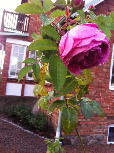 Årets sista ros/last rose