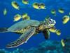 一隻在夏威夷附近游過一群月斑蝴蝶魚的綠海龜。 (mksbcphoto) Tags: 海洋 範例 野生生物