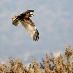 Falco di Padule (d.carradori) Tags: natura danilo flickrsbest eliteimages fotoclubilbacchino carradori falcodipadule