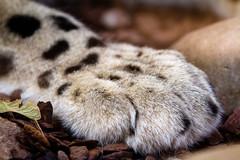 Paw (Cloudtail the Snow Leopard) Tags: zoo karlsruhe tier animal säugetier mammal katze cat bigcat groskatze raubkatze schneeleopard snow leopard panthera uncia irbis feline pfote paw flickrbigcats cloudtailthesnowleopard