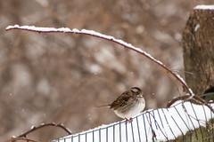 Bird on fence in snow (Garen M.) Tags: winter snow birds backyard snowfall nikond800