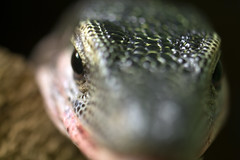 "Lizard head against glass - high dof • <a style=""font-size:0.8em;"" href=""http://www.flickr.com/photos/30765416@N06/12160127373/"" target=""_blank"">View on Flickr</a>"