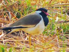 1IMG_4008 RED LAPWING IN OKHLA BIRD SANCTUARY IN NOIDA INDIA (Rajeev India (THANKS for views, comments n faves)) Tags: red noida india bird lapwing sanctuary in okhla