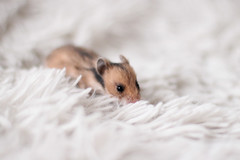 Loðholts Klassík (astakatrin) Tags: baby black cute yellow golden furry little dove fluffy tortoiseshell tiny calico hamster tts shorthaired syrian banded longhaired loðholts