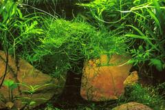 (prismaviolet) Tags: aquarium tank freshwater planted