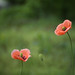 Poppies with blurry green background. Color contrast