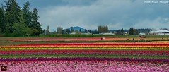 Men At Work (www.35mmNegative.com(On a Break, Catchin) Tags: flowers panorama men festival truck work landscape photography washington nikon colorful day tulips state cloudy valley tulip fields skagit farms picking cultivation harvesting hazarika d800e www35mmnegativecom reetom