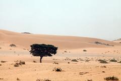 One tree (Dlirante bestiole [la posie des goupils]) Tags: tree sand loneliness desert dune middleeast saudiarabia acacias arabie