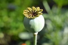 Poppy (careth@2012) Tags: macro closeup spring nikon britishcolumbia poppy hennysgardens hennysflowergardens d3100 nikond3100