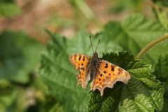 C-Falter (gripspix (catching up slowly)) Tags: nature butterfly insect natur insekt ragged comma schmetterling beschdigt cfalter zerlumpt 20140618